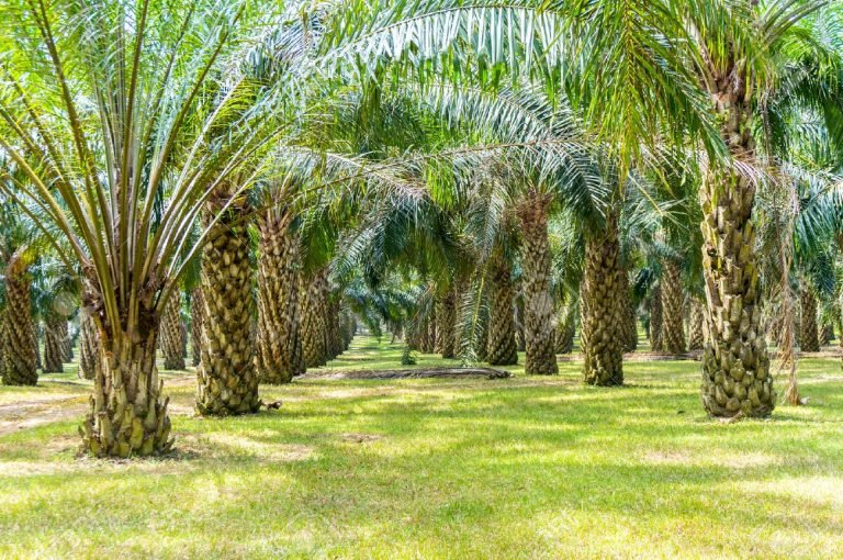 43119893-palm-oil-plantation-growing-up-min