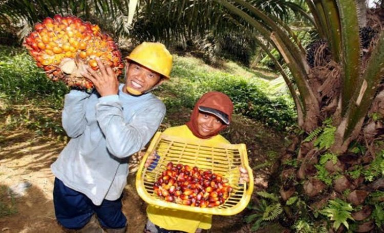 oil palm farmers